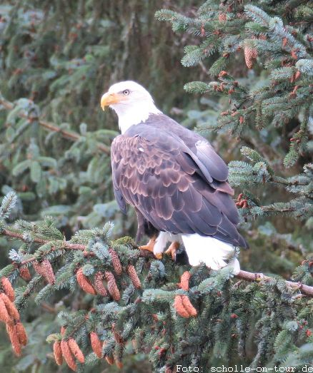 Bald_Eagle_001_web