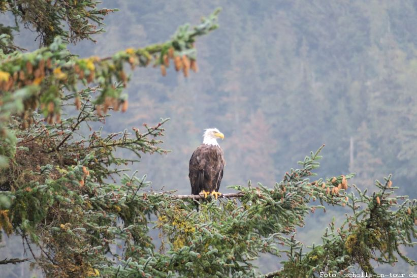 Bald_Eagle_002_web