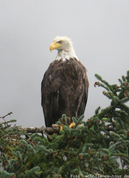 Bald_Eagle_003_web