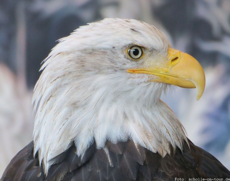 Bald_Eagle_007_web