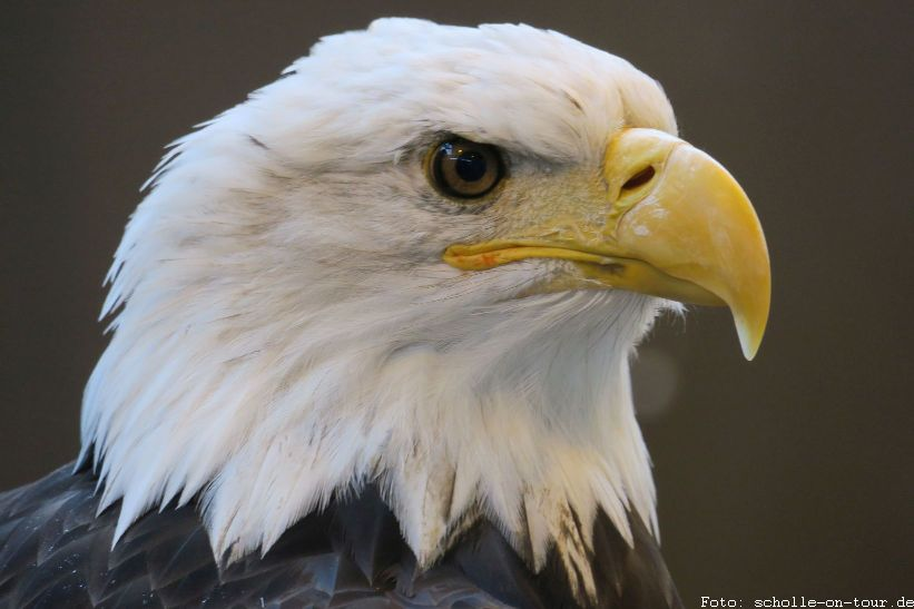 Bald_Eagle_008_web