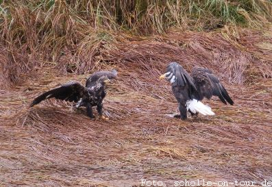 Eagle_fight_001_web